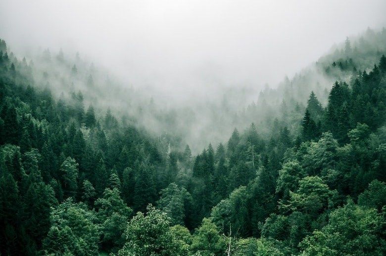 A collection of evergreens in a foggy valley